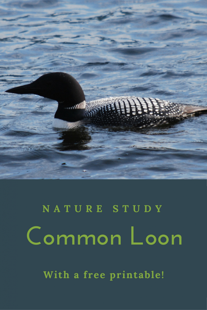 Nature Study About the Common Loon. Common Loon | Nature Study | Free Printable | Science