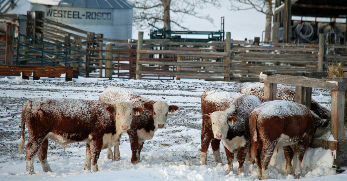 Winter Arrives with Full Force. Winter | Drifting Snow | Snow Drift | Ranching | Ranching in the Snow | Beef Cattle | Winter Chores | Freezing Cold | Freezing | Life on a Ranch