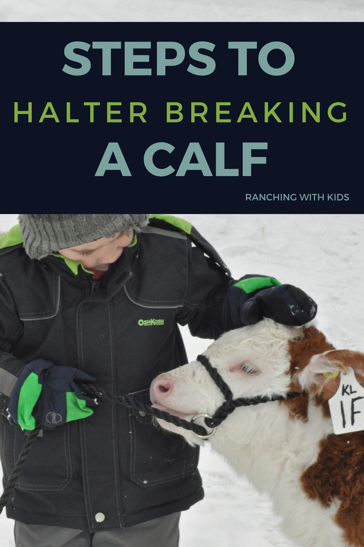 Here are the steps to halter breaking a calf. Country life at its best while preparing show cattle, these simple tips will help to prepare your calf for show.