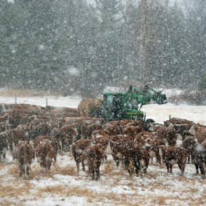 The Unpredictable Storm. Winter Storm | Bred Heifers | Ranch Life | Herefords |