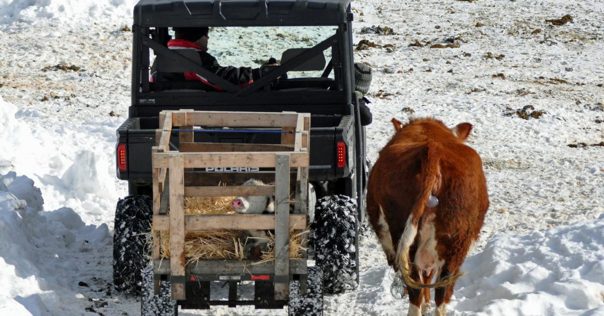 Bringing a Calf into the Barn. homeschooling, new baby, baby carrier, calving, halter breaking, calf, calving season, chores