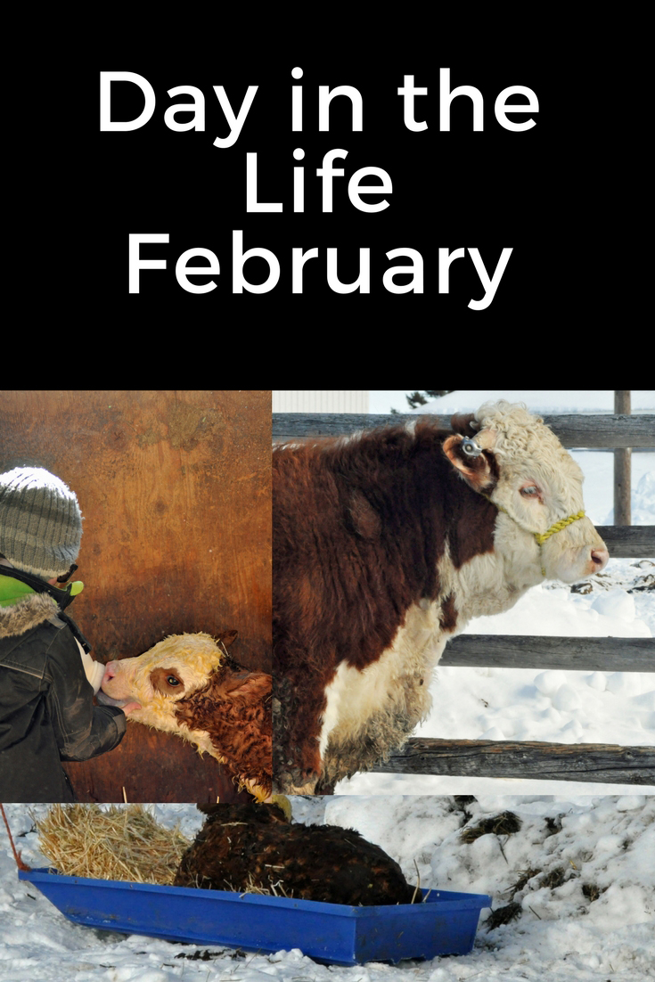 Day in the Life - February. homeschooling, new baby, baby carrier, calving, halter breaking, calf, calving season, chores, bottle feeding
