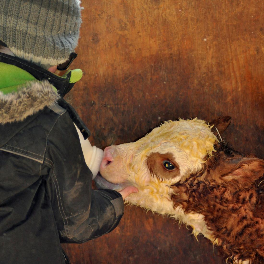 Bottle Feeding a Calf. homeschooling, new baby, baby carrier, calving, halter breaking, calf, calving season, chores
