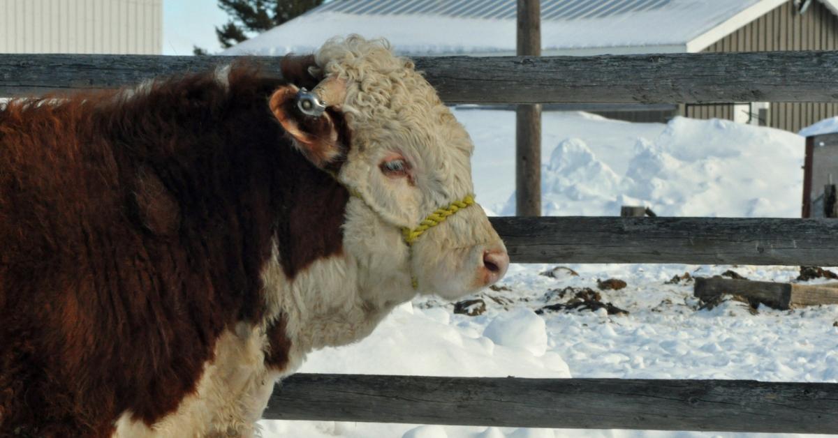 Halter Breaking Bulls. homeschooling, new baby, baby carrier, calving, halter breaking, calf, calving season, chores