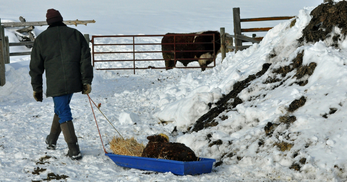 Pulling a calf in with a sleigh. homeschooling, new baby, baby carrier, calving, halter breaking, calf, calving season, chores