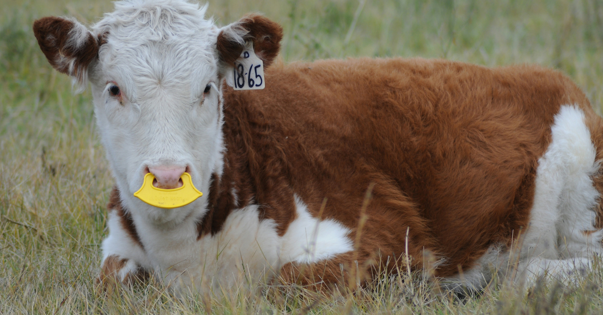 Why We Use QuietWean Nose Tags. #weaning #ranchlife #quietwean #lowstressweaning