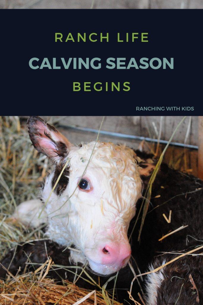Calving Begins on the Ranch. #calvingseason #calving #ranchlife