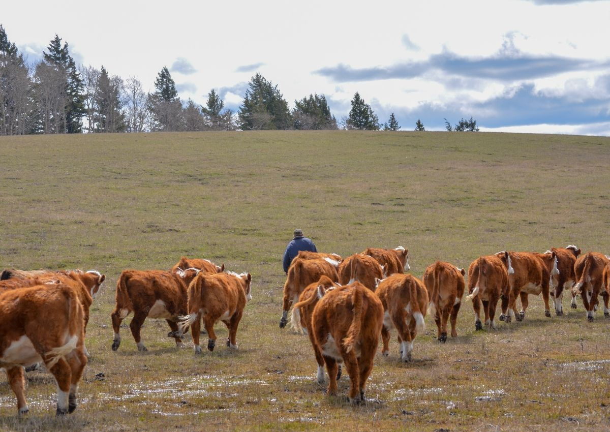 Moving yearlings in the spring on a cattle ranch