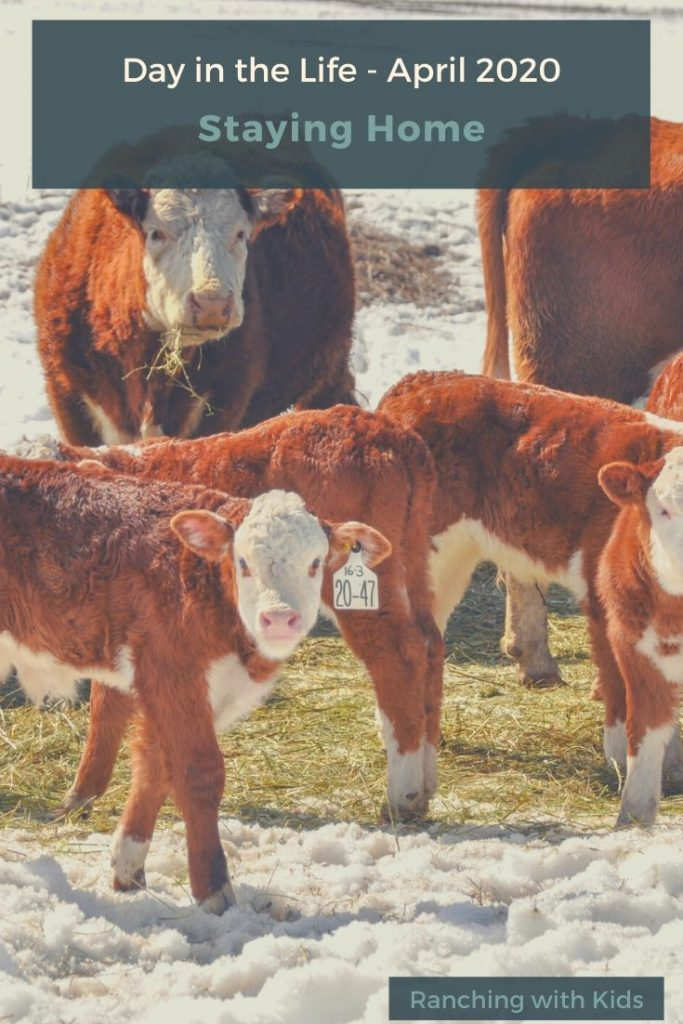 Calving Time on a BC Cattle Ranch
