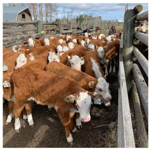 Moving calves in the spring